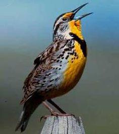 Western Meadowlark, similar in appearance to the Eastern meadowlark.