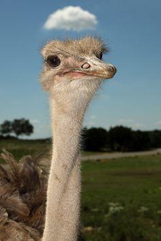 'Cloud for a Hat' - Ostrich