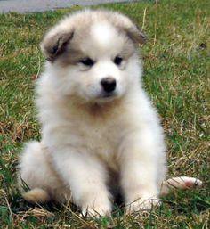 alaskan malamute puppy!