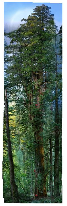 On the way to Mendicino I saw some awesome trees. (This is the first ever seamless photograph of an entire redwood tree. Photographer Nick Nichols and National Geographic built a robotized rig with three cameras to capture this enormous 1,600 year old redwood tree in California. The final composite is stitched together from 84 photos. There's a video of how they did it. (via theo)