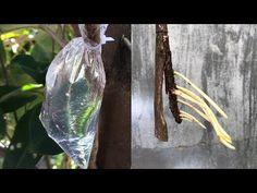 Πώς να εξαγάγετε τα φυτά με νερό πολύ ρίζες - YouTube