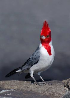 Red-crested Cardinal (Paroaria coronata), Oahu. Native to South America, it was introduced to Hawaii in the 1930's.