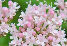 Live Valerian Plant - (Valeriana officinalis) 2 Year Old , Flowering, 1 Gallon, Live Plant, Herb, Medicinal, Insomnia, Flowers, fragrant by Vintagepetalpushers on Etsy