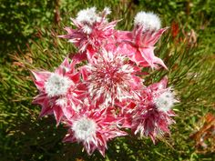 Serruria Carmen di Flora Toscana Flora, Toscana, Plants