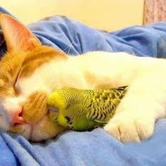 Kitty snuggling Parakeet. AWWWWWWWWW! I've never seen such a thing!