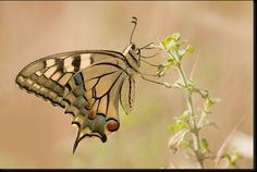 Papilio machaon -butterfly