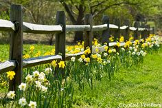 Daffodils by a Fence by Crystal Venters, via Flickr