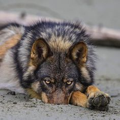Photograph by @paulnicklen for @natgeo.  Do you have any idea why this female wolf dug a hole in the sand and hid her nose?  I would love to hear your thoughts.  Please #follow me on @paulnicklen as I will post an image that illustrates why I think she does this behavior.  Over the next couple of weeks our story on these coastal wolves of BC will be appearing in @natgeo.  With @cristinamittermeier, @sea_legacy  #mpa #nature #wildlife #wolf #bc #britishcolumbia @natgeocreative…