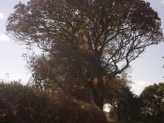 Autumn tree & hedge, Mutehill Autumn Trees, Hedges, Wildlife, Fall Winter, October, Sunset, Wood, Plants, Outdoor