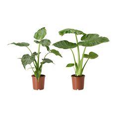 ALOCASIA Pflanze, Elefantenohr, versch. Arten