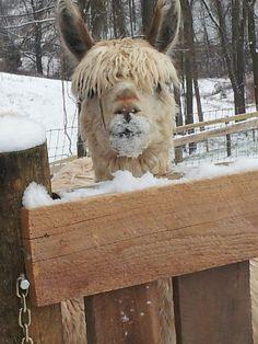 "AOBA 2013 National Alpaca Show Photo Competition / Category: Humor - Adult / Third Place/ ""Got snow"" Richard Wilder, Arcona Alpacas"
