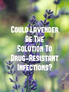 Could Lavender Be the Solution to Drug-Resistant Infections?