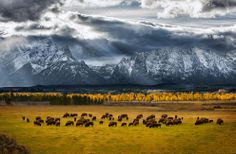 Where the Buffalo roam (© Glen Hush/National Geographic Photo Contest)