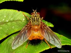 https://flic.kr/p/M75eTk | Tachinid Fly | from Ecuador: www.flickr.com/andreaskay/albums