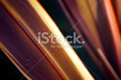 Sunlit Harakeke Leaves (New Zealand Flax) Royalty Free Stock Photo