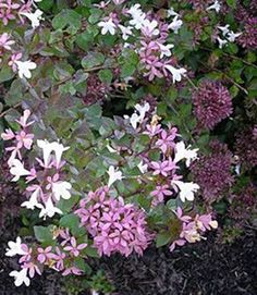 Rose Creek Abelia:  Evergreen leaves are shiny and become purple in cold weather. Mature Height: 2 - 3 feet Mature Spread: 3 - 4 feet