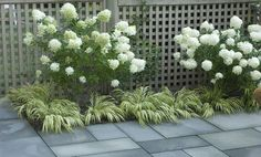 limelight hydrangeas and Japanese forest grass surrounding a bluestone patio