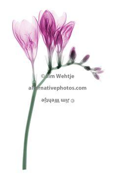 X-ray image of Freesia flowers (Freesia, pink on white) | Jim Wehtje
