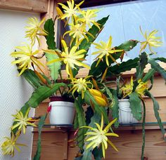 a yellow Epicactus - looks like the cuttings from nana (blooms will confirm)