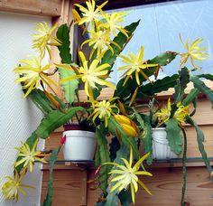 Entre flores: x EPICACTUS