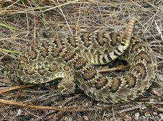 Mojave Green Rattlesnake (scutulatus)--black rings are thinner and may not go all the way around. May have greenish tinge.