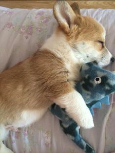 A corgi sleeping with a miniature Dino? I want it now!❤️
