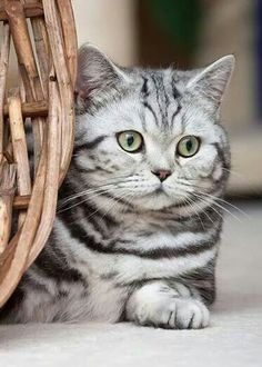 American Shorthair Cat Breeds – Cats In Care - Animal British Shorthair Silver Tabby, American Shorthair Cat, Cute Cats And Kittens, Cool Cats, Kittens Cutest, Tabby Kittens, Pretty Cats, Beautiful Cats, Pretty Kitty