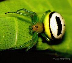 Batman's Spider? by mang M, via Flickr