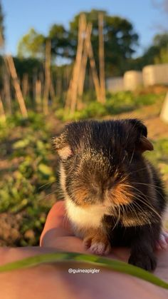 Black brown and white guinea pig