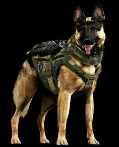 Military german shepherd