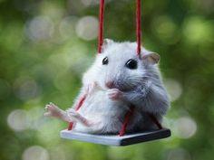 Swingin Hamster