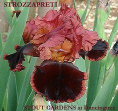 Iris STROZZAPRETI | Stout Gardens at Dancingtree