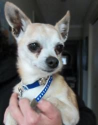 Chino is an adoptable Chihuahua Dog in Winnipeg, MB. Chino is a 9 year old male Chi, and a friendly little guy who likes all people. He has a grade five heart murmur. Housetraining is a work in progr...