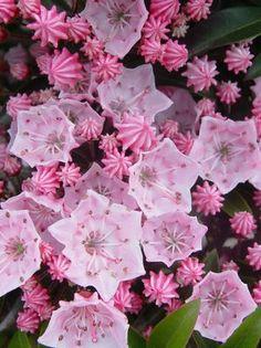 Mountain Laurel flowers ( Kalmia Latifolia), a large woody evergreen shrub native to the Eastern United States