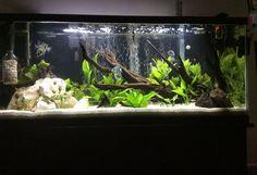 55 gallon planted angel fish tank