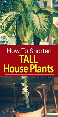 Shorten tall houseplants? When houseplants like a Dracaenas, ficus tree, ficus benjamina or dieffenbachia amoena get too tall, they must be shortened.