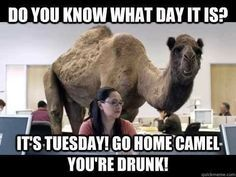 its tuesday drunk camel funny quotes funny quotes days of the week humor hump day camel