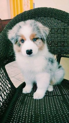 Lacey Grace australian laceygraceyoung australian Grace Lacey is part of Cute dogs - Cute Little Animals, Cute Funny Animals, Cute Animal Pictures, Dog Pictures, Pictures Of Cute Puppies, Cute Dogs And Puppies, Doggies, Adorable Puppies, Fluffy Puppies