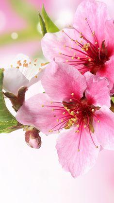 Spring Plum Blossom Branch Macro #iPhone #5s #wallpaper