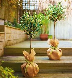 Olive trees. Gift  decor idea~!