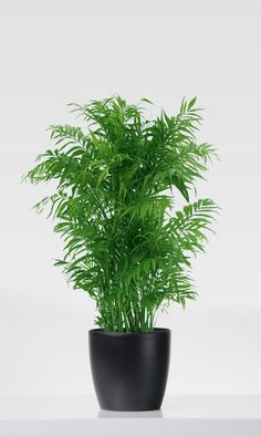 A gyompálma (Chamaedorea elegans) gondozása - CityGreen. Plantas Indoor, Cat Safe Plants, Passive Solar Homes, Solar House, Garden Planning, Indoor Plants, House Plants, Natural, Planter Pots