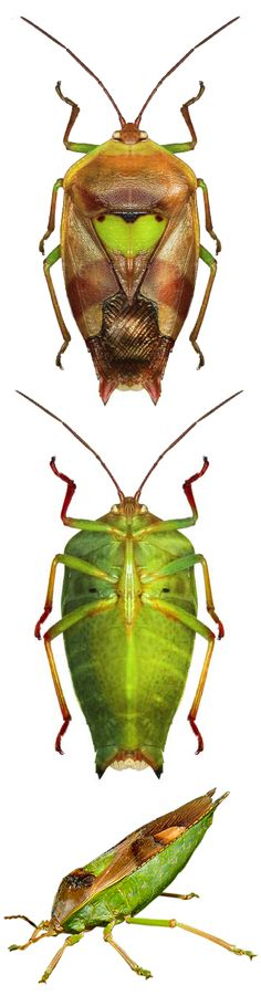 Lyramorpha parens