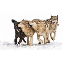 World Of Wolves