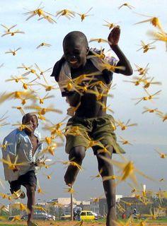 Afrika - (West Afrika) Senegalese locusts