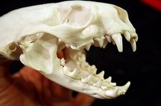 Dogo argentino teeth structure