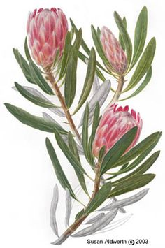 botanical art - King Protea 'Pink Ice' Protea Art, Flor Protea, Protea Flower, Australian Wildflowers, Australian Native Flowers, Australian Art, Art Floral, Floral Drawing, Botanical Flowers