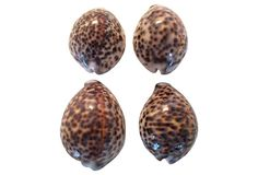 Cowrie Shells, S/4 on OneKingsLane.com  were $99 now $69