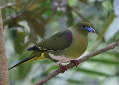 Yellow-vented Green Pigeon - Laos, Malaysia, Thailand, and Vietnam