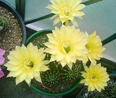 Echinopsis green gold