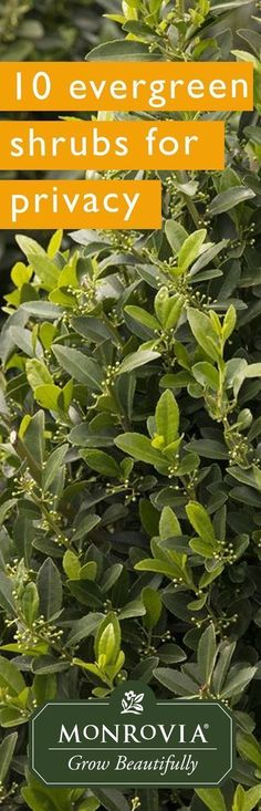 Tall, thick, dense evergreen shrubs provide that sense of solitude, but do so with a leafy-whisper. Here are ten excellent tall shrubs to consider when landscaping for privacy. #smallgardenshrubs #gardenshrubsevergreen